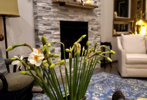 Daffs in bud in author's home - Harvest Moon Flower Farm